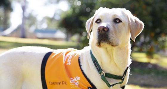 Labrador therapy dog